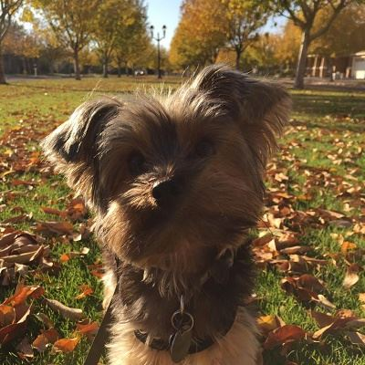 Small Fluffy Griffon Dog Looking Confusedly at the Camera