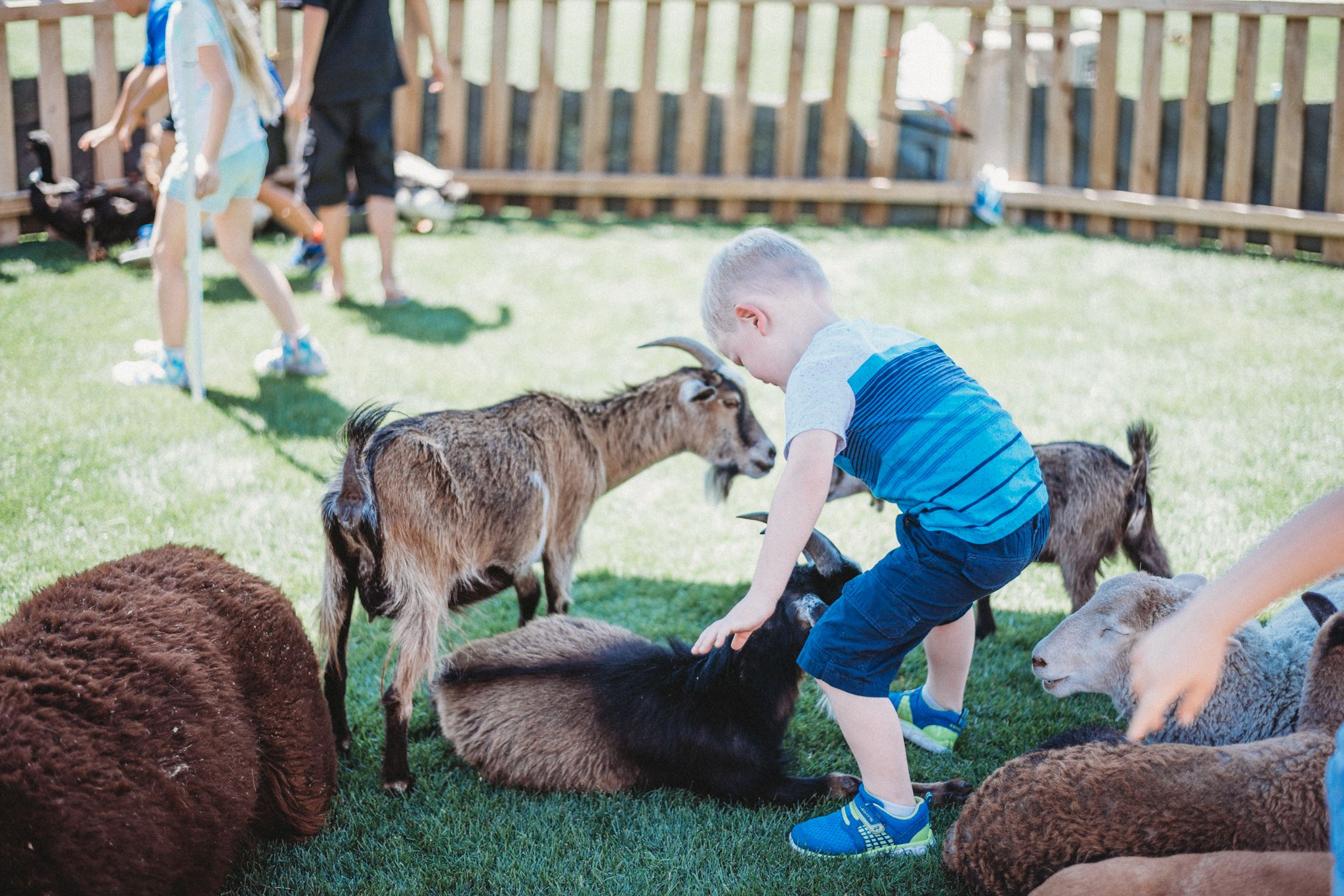 Toddler Petting a Lounging Brown Goat